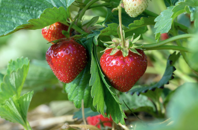 berry crops ipm guidelines