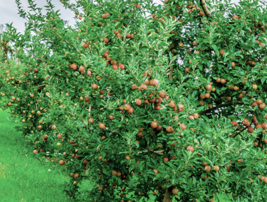 tree fruit ipm guidelines